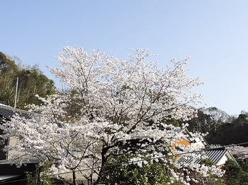 お隣さんの桜-4.jpg